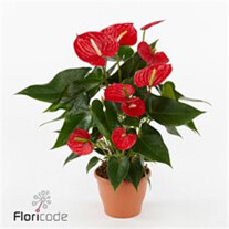 Anthurium andr. Kentucky